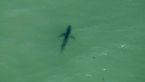 طائرة مروحية ترصد أسماك قرش عند شواطىء كاليفورنيا