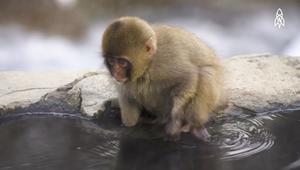 في أي بلد تسترخي القرود بالمياه الحارة؟
