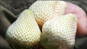 """""""الجوهرة البيضاء"""".. فراولة بلون مختلف يزرعها رجل واحد بالعالم"""