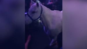 شاهد.. حصان داخل ملهى ليلي في ميامي والشرطة تحقق