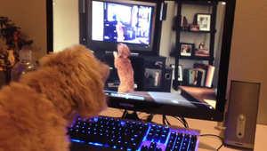 الكلب أثناء مشاهدة نفسه
