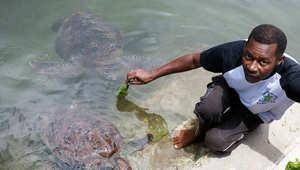 إنقاذ السلاحف