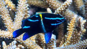 مثلث المرجان، المحيط الهادئ