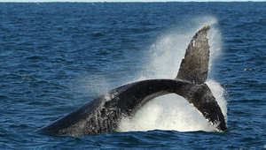الحوت الأحدب