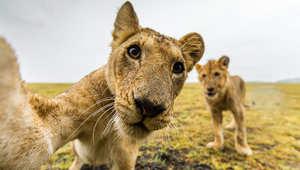 هل هذه أقصى درجة تقترب فيها من أشرس الحيوانات الأفريقية؟