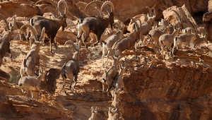 الوعل الجبلي في وادي رم : من مسيجات المحمية إلى منافسة مصيرية في الحياة البرية
