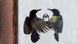 """طائر يضرب بمنقاره صورته المعكوسة في زجاج نافدة بالعاصمة السيرلانكية  كولومبو لاعتقاده بأن """"منافسا"""" اقتحم حيزه"""