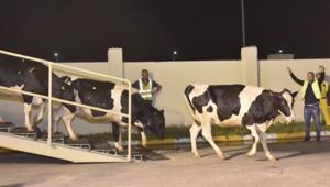 شاهد.. قطر تستورد البقر بالطائرات لمواجهة نقص الحليب