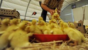 وسط ارتفاع أثمان الدجاج.. المغرب يستورد 600 طن من كتاكيت الاتحاد الأوروبي