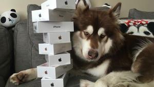 "ابن ملياردير صيني يشتري لكلبته 8 هواتف ""أيفون 7"""