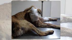 الكلب راي بعد تضميد جراحه