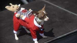 كلب مشارك في  مسابقة أفضل زي للكلاب في مدينة غواتيمالا