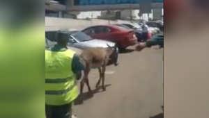 دخول حمار الى موقف السيارات في مطار القاهرة