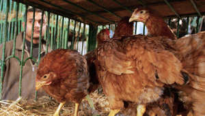 الصحة المصرية تعلن عن 8 إصابات جديدة بأنفلونزا الطيور