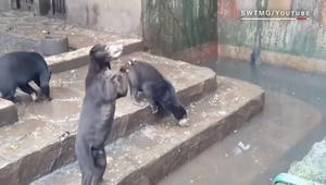 دببة هزيلة في حديقة للحيوانات تثير غضب النشطاء