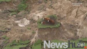انتشار فيديو لـ3 أبقار عالقة بجزيرة وسط زلزال نيوزيلندا