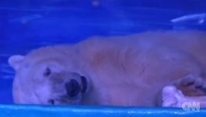 أشد الدببة القطبية حزنا في العالم.. شاهد ماذا فعل الناس لإسعاده