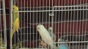 من الخرطوم: معرض لتربية الطيور يجمعها بألوانها وأشكالها.. والحمام الراقص يسرق الأضواء