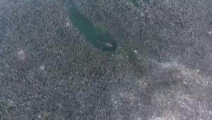 شاهد أسماك قرش تطارد مجموعة هائلة من الأسماك
