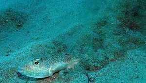 سمك البفر