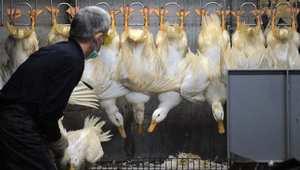 الاختلاط بالطيور السبب الأول حتى الآن للاصابة بالعدوى