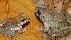 ضفدع تم اكتشافه في إندونيسيا يلد ولا يضع بيضا كسائر فصائل الضفادع