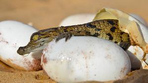 """تعرّفوا إلى أول تمساح """"مغربي"""".. إدريس أغوشاف"""