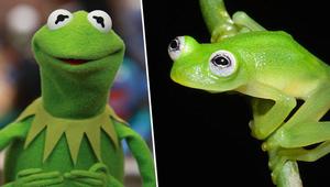 """صور تُظهر التشابه العجيب.. اكتشاف ضفدع حقيقي في كوستاريكا يشبه """"كيرمت"""" من """"عالم سمسم"""""""