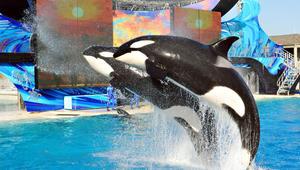 """حديقة """"سي وورلد"""" المائية تتخلى عن الحيتان القاتلة في أبوظبي"""
