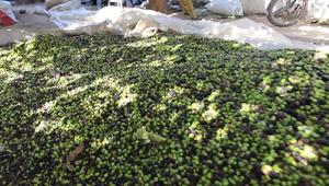 """موسم قطف الزيتون في غزة.. اكتشف هذا الإرث """"المميز"""""""