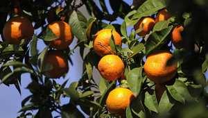 الولايات المتحدة توقف استيراد الحمضيات المغربية بسبب اكتشاف ذبابة المتوسط في شحنة برتقال