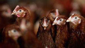السعودية تحظر استيراد الدواجن من تونس بسبب انفلونزا الطيور
