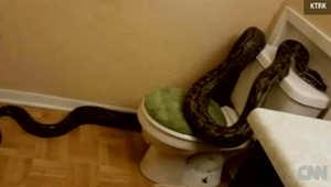 سيدة تفاجأ بثعبان بطول ثلاثة أمتار ونصف في حمام منزلها