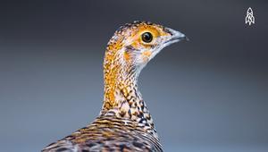 هل يمكن لهذا الطائر النادر النجاة من الانقراض؟
