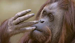 القردة ساندرا