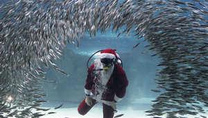 """سباح يرتدي زي """"بابا نويل"""" يسبح مع مجموعات من سمك السردين"""