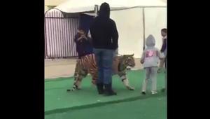 """بالفيديو.. ضجة بعد """"هجوم"""" نمر على طفلة في سكاكا بالسعودية"""