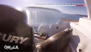 فقمة تختبئ في قارب هرباً من الحيتان القاتلة