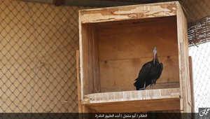 """بالصور.. داعش ينشر صورا لطائر أبومنجل النادر بعد مناشدة أسماء الأسد الدولية لإنقاذه.. ومغردون: لو نطق الطائر لقال """"باقية باقية"""""""