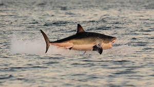صورة أرشيفية لسمكة قرش