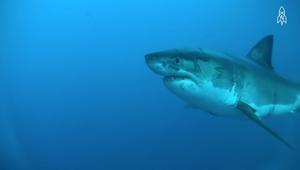 معلومة .. أسماك القرش هي سر الحفاظ على المحيطات