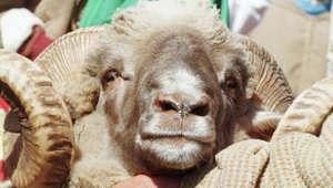 """المغرب احتفل الأحد بالأضحى.. تقاليد عريقة... من عادات الاحتفال إلى تفضيل خروف """"السردي""""؟"""
