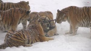 بالنسبة لهذه النمور.. فإن الطائرات الآلية مجرد فريسة