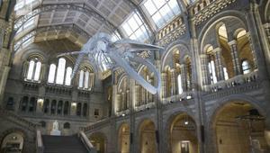 شاهد.. متحف لندن يرفع الستار عن هيكل حوت أزرق ضخم