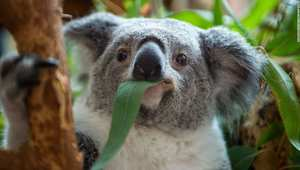 بين الكوالا والكنغر والومبت.. تعرف إلى أغرب الحقائق عن ألطف حيوانات استراليا