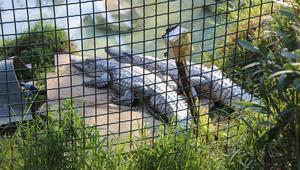 ضجة في تونس بسبب رجم تمساحٍ حتى الموت.. ووزير البيئة يتدخل