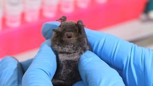 هل تصبح الخفافيش بمثابة المفتاح السحري لإيقاف الفيروسات؟