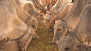 """بين ذبح البقر وذبح البشر.. صراع الهندوس والمسلمين في الهند حول """"غذاء الروح"""" و """"غذاء الجسد"""""""