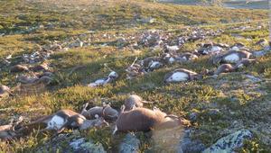 مقتل أكثر من 300 غزال رنة بضربة صاعقة واحدة!