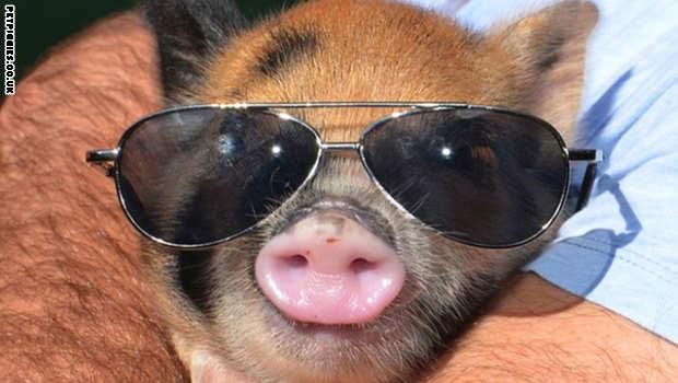 بالصور: أنقذوا الخنازير من الحريق لكن ما حصل بعد ذلك كان صادماً!